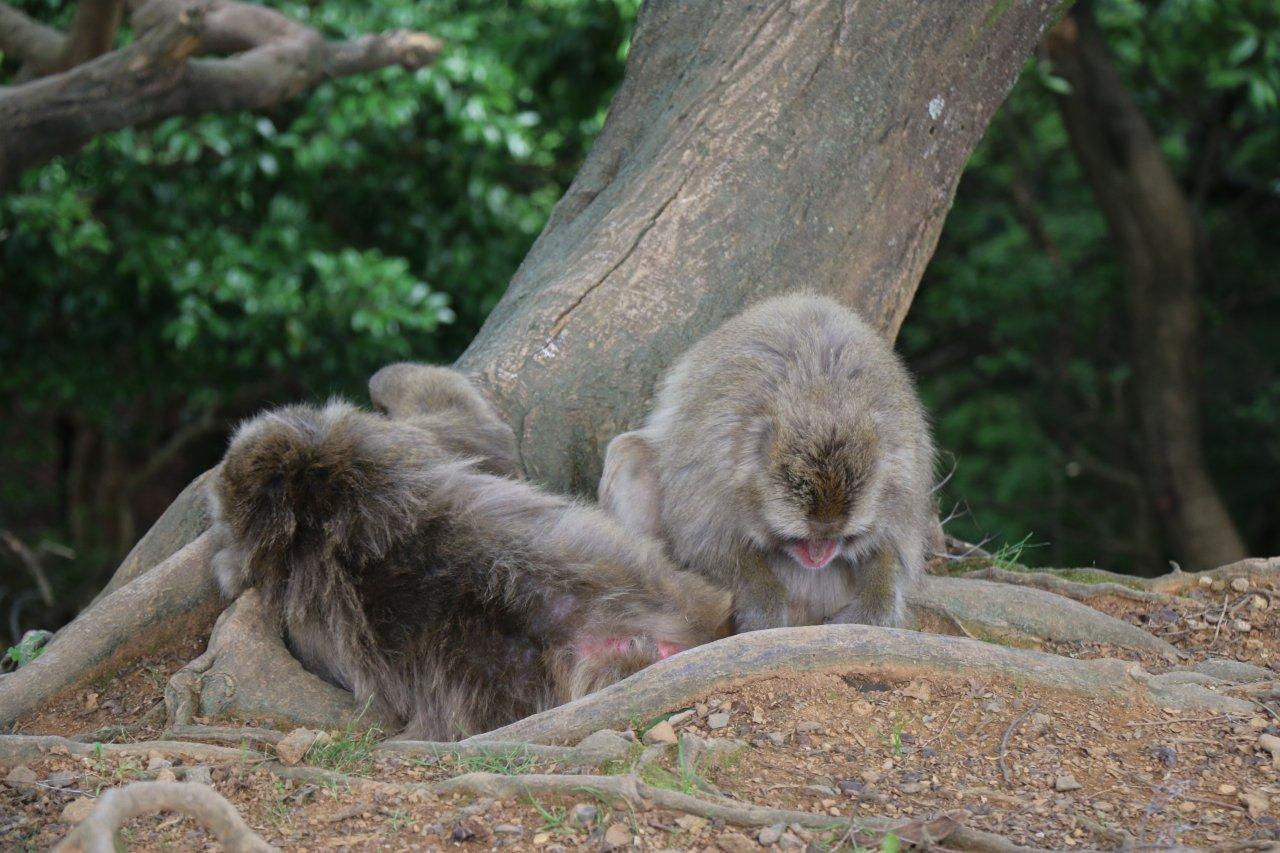 Monkey Park Iwatayama in Arashiyama, Kyoto 嵐山モンキーパーク元録山 ...